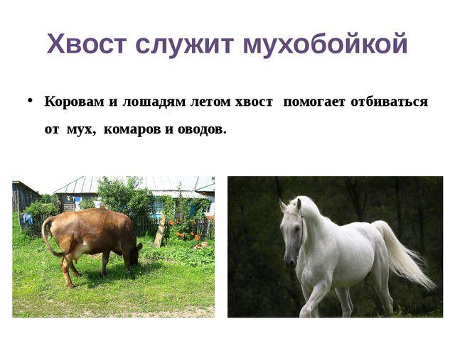 Хвост служит мухобойкой Коровам и лошадям летом хвост помогает отбиваться от...