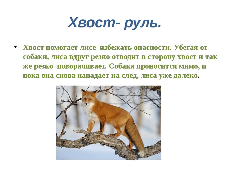 Хвост- руль. Хвост помогает лисе избежать опасности. Убегая от собаки, лиса в...