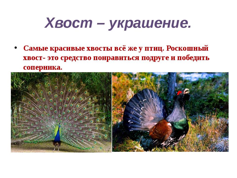 Хвост – украшение. Самые красивые хвосты всё же у птиц. Роскошный хвост- это...