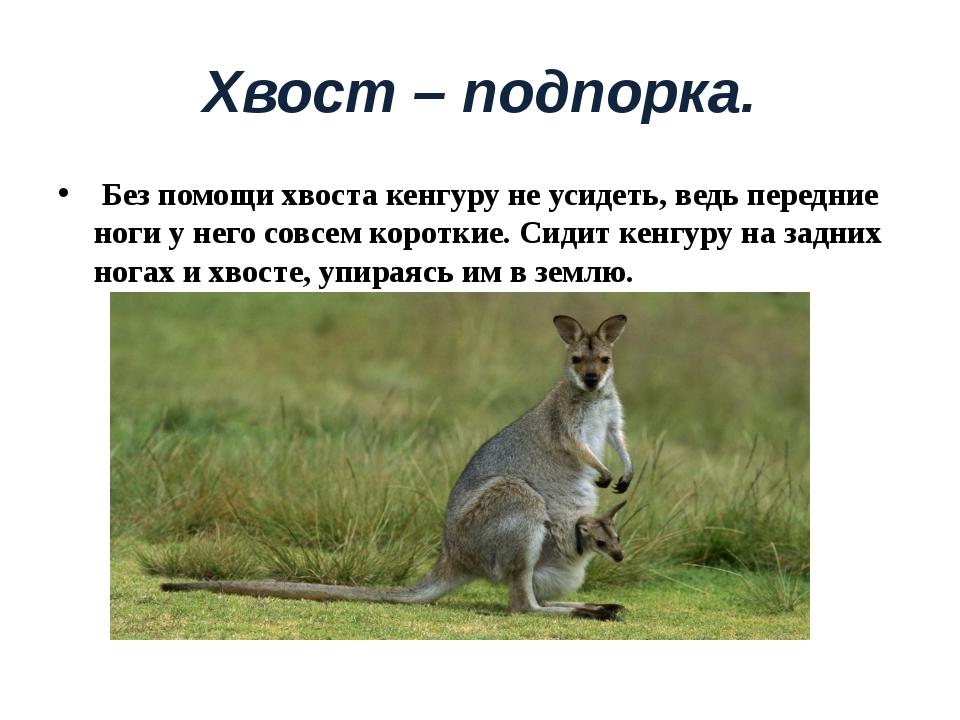 Хвост – подпорка. Без помощи хвоста кенгуру не усидеть, ведь передние ноги у...