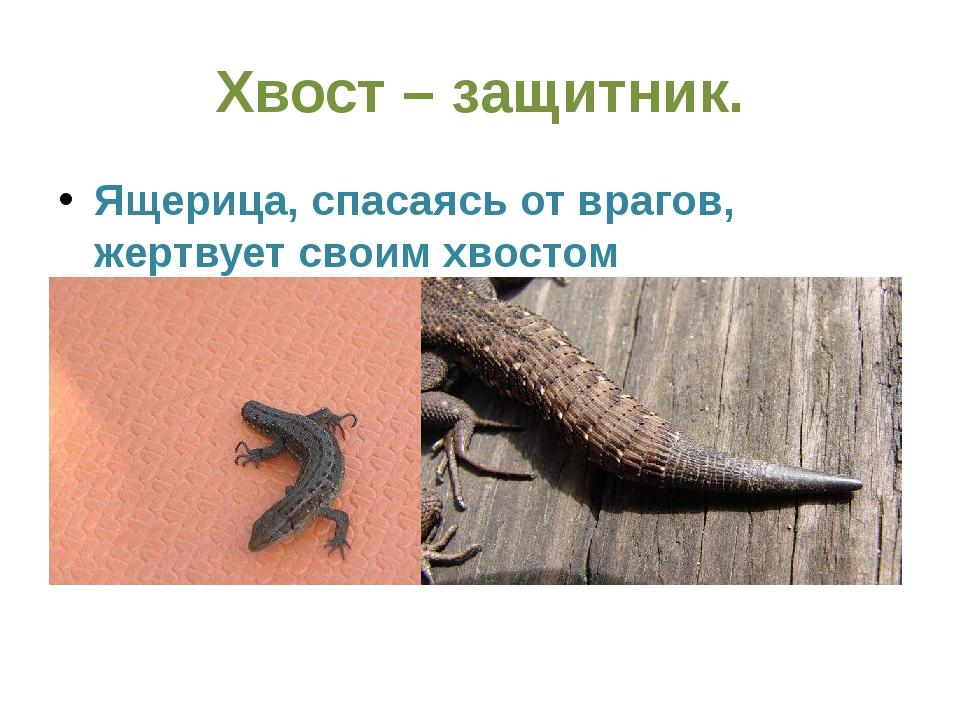 Хвост – защитник. Ящерица, спасаясь от врагов, жертвует своим хвостом