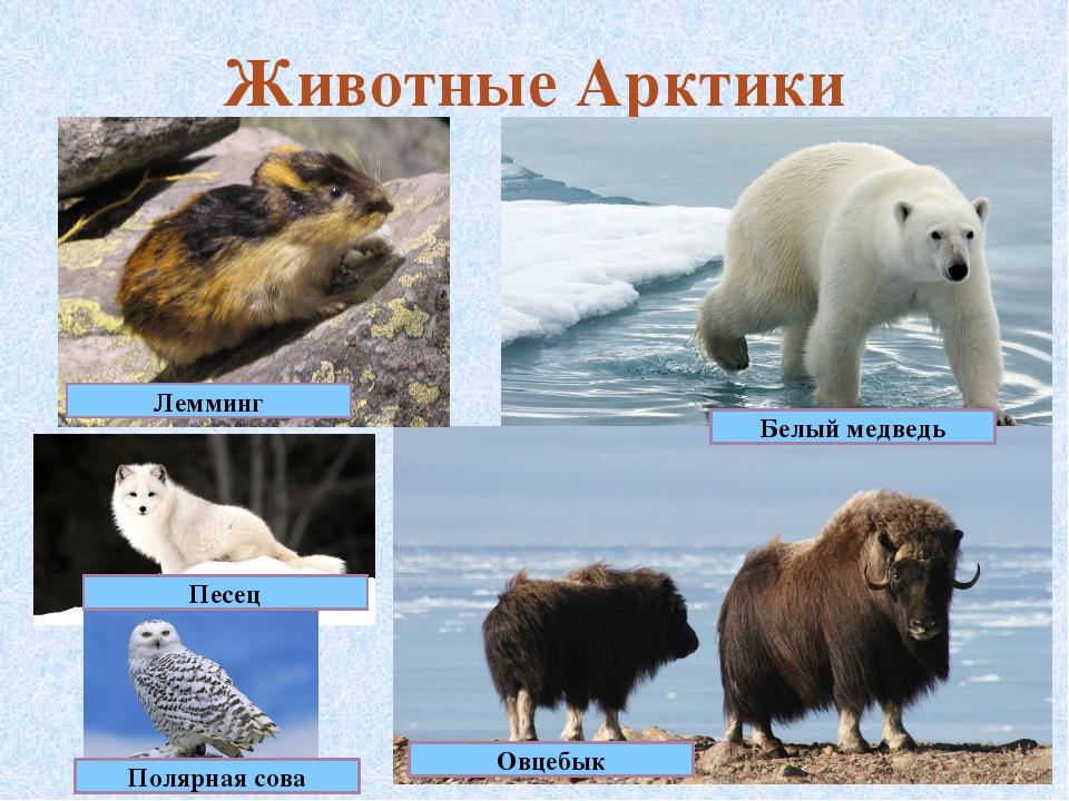 Животные Арктики Песец Лемминг Овцебык Белый медведь Полярная сова