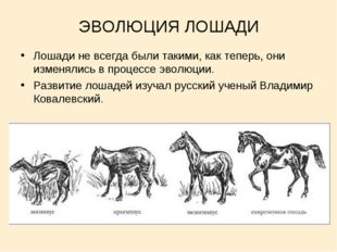 ЭВОЛЮЦИЯ ЛОШАДИ Лошади не всегда были такими, как теперь, они изменялись в пр