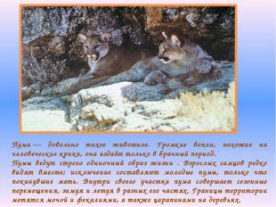 Пума— довольно тихое животное. Громкие вопли, похожие на человеческие крики,