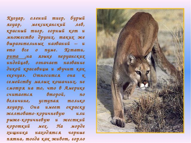 Кугуар, олений тигр, бурый ягуар, мексиканский лев, красный тигр, горный кот...
