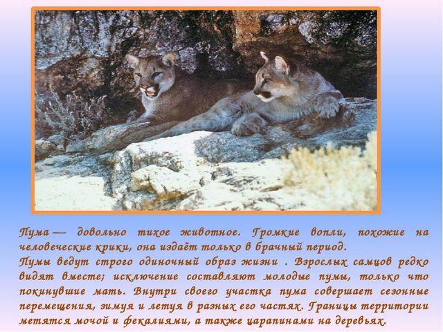 Пума— довольно тихое животное. Громкие вопли, похожие на человеческие крики,...