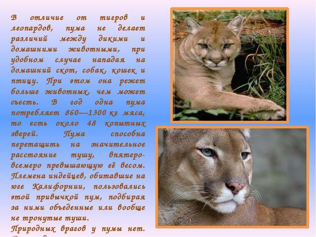 В отличие от тигров и леопардов, пума не делает различий между дикими и домаш...