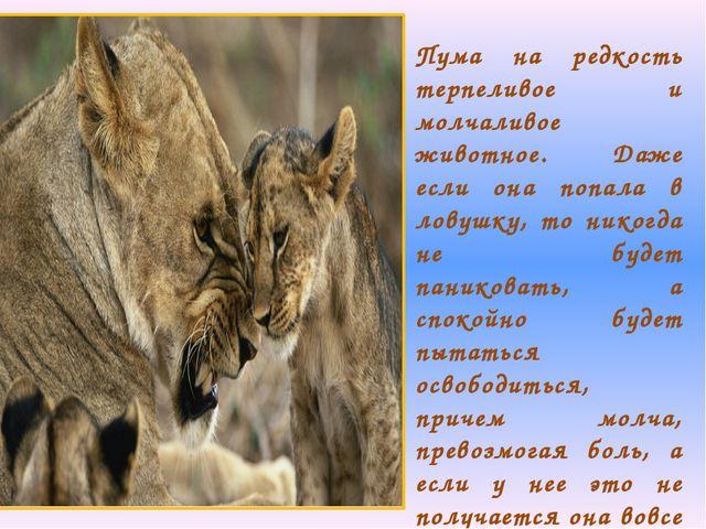 Пума на редкость терпеливое и молчаливое животное. Даже если она попала в лов...
