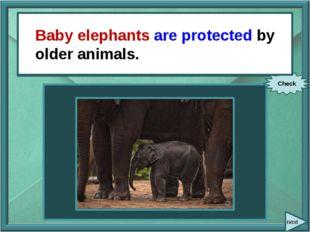 next Older animals protect baby elephants. Check Baby elephants are protecte