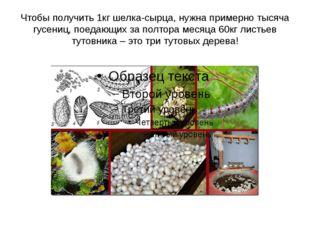 Чтобы получить 1кг шелка-сырца, нужна примерно тысяча гусениц, поедающих за п