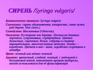 СИРЕНЬ /Syringa vulgaris/ Ботаническое название: Syringa vulgaris Синонимы: