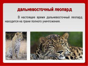 дальневосточный леопард В настоящее время дальневосточный леопард находится н