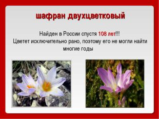 шафран двухцветковый Найден в России спустя 108 лет!!! Цветет исключительно