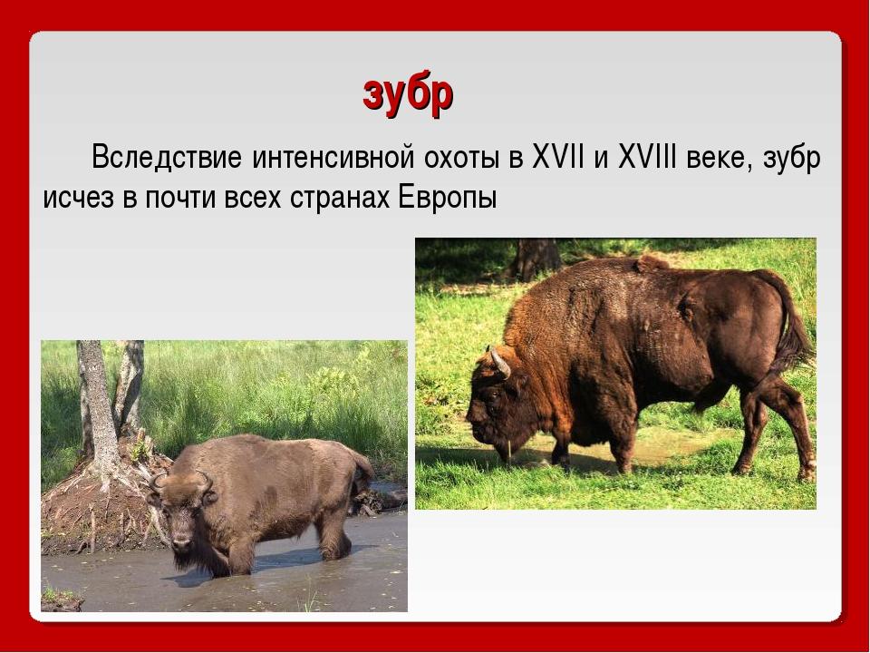 зубр Вследствие интенсивной охоты в XVII и XVIII веке, зубр исчез в почти все...