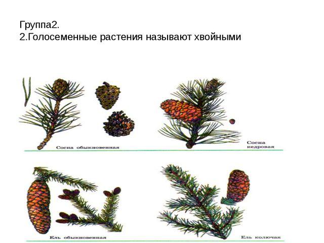 Группа2. 2.Голосеменные растения называют хвойными