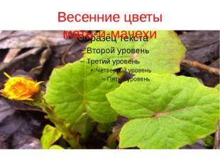 Весенние цветы мать-и-мачехи