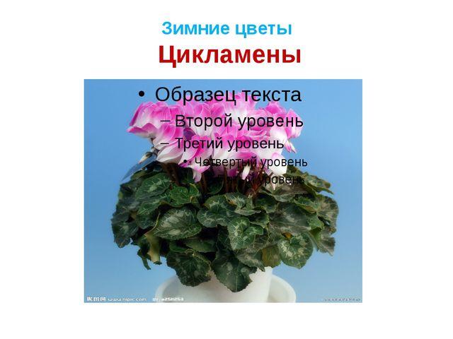 Зимние цветы Цикламены