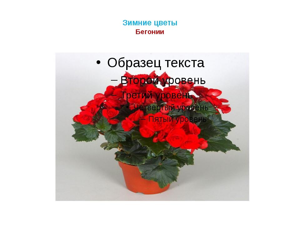Зимние цветы Бегонии