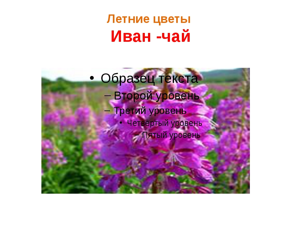 Летние цветы Иван -чай