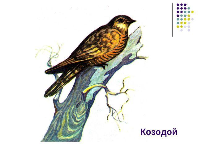 Козодой