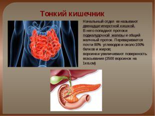 Тонкий кишечник Начальный отдел ее называют двенадцатиперстной кишкой. В него
