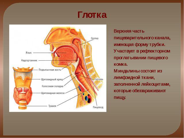 Глотка Верхняя часть пищеварительного канала, имеющая форму трубки. Участвует...