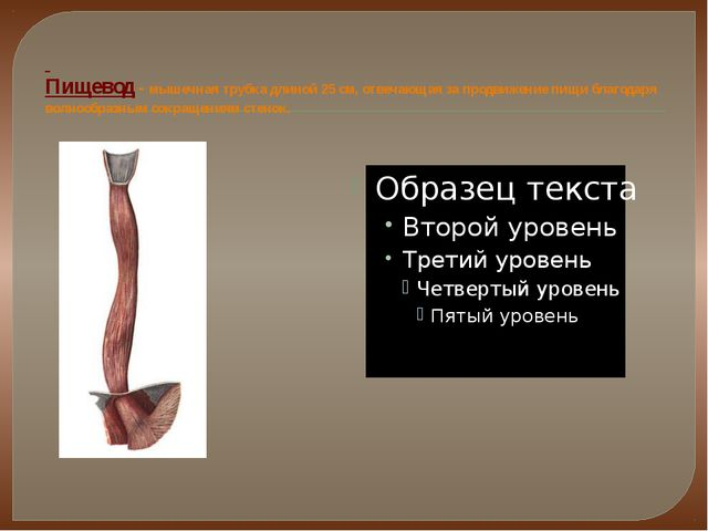 Пищевод - мышечная трубка длиной 25 см, отвечающая за продвижение пищи благо...
