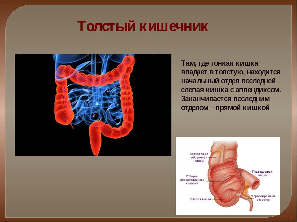 Толстый кишечник Там, где тонкая кишка впадает в толстую, находится начальный...