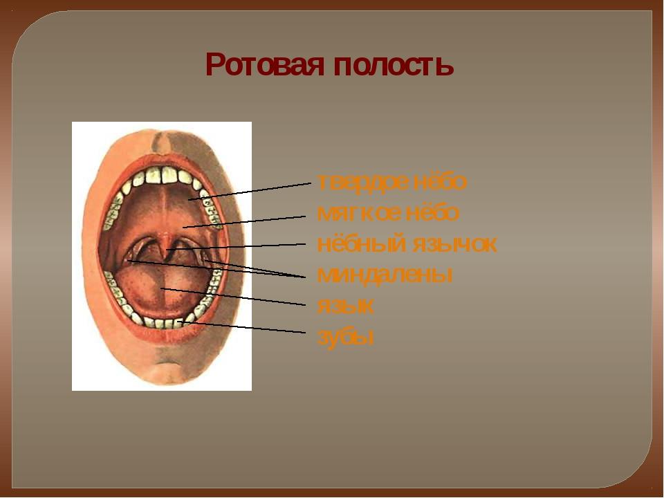 Ротовая полость твердое нёбо мягкое нёбо нёбный язычок миндалены язык зубы