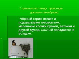Строительство гнезда происходит довольно своеобразно: Чёрный стриж летает и