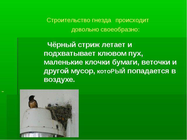 Строительство гнезда происходит довольно своеобразно: Чёрный стриж летает и...