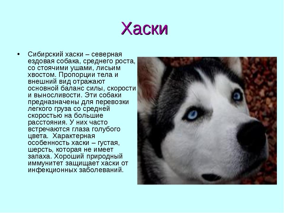 Хаски Сибирский хаски – северная ездовая собака, среднего роста, со стоячими...