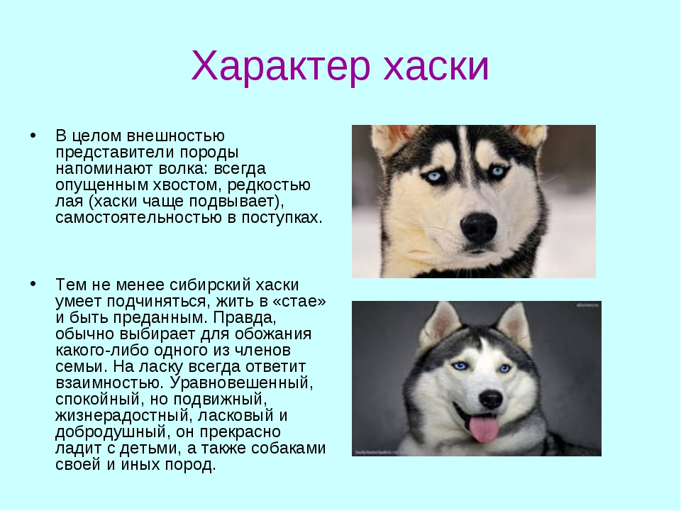 Характер хаски В целом внешностью представители породы напоминают волка: всег...
