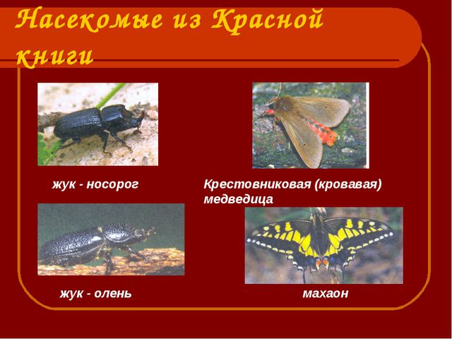 Насекомые из Красной книги жук - носорог Крестовниковая (кровавая) медведица...