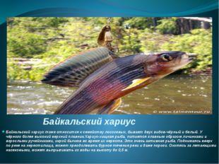 Байкальский хариус Байкальский хариус тоже относится к семейству лососевых, б