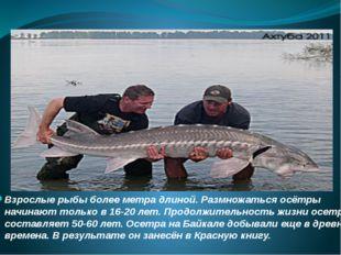Взрослые рыбы более метра длиной. Размножаться осётры начинают только в 16-20