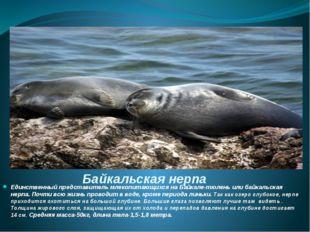 Байкальская нерпа Единственный представитель млекопитающихся на Байкале-тюлен