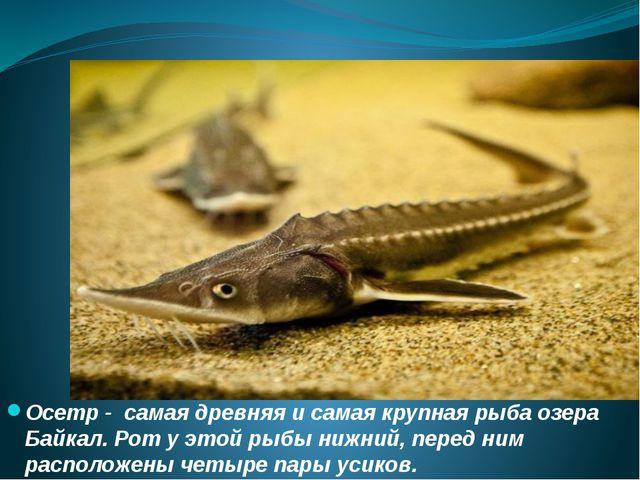 Осетр - самая древняя и самая крупная рыба озера Байкал. Рот у этой рыбы нижн...
