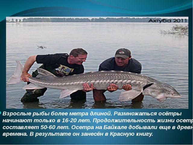 Взрослые рыбы более метра длиной. Размножаться осётры начинают только в 16-20...