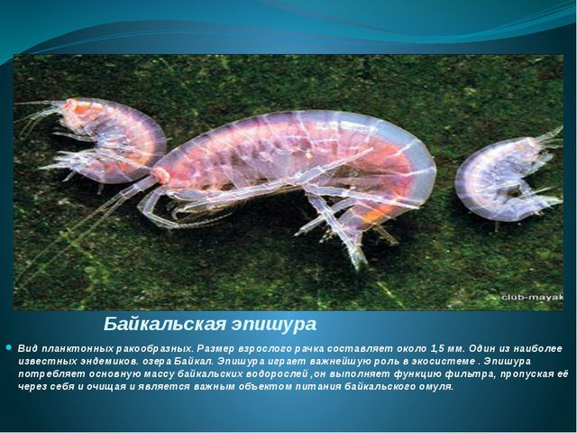 Байкальская эпишура Вид планктонныхракообразных. Размер взрослого рачка сост...