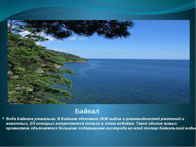 Байкал Вода Байкала уникальна. В Байкале обитают 2630 видов и разновидностей...