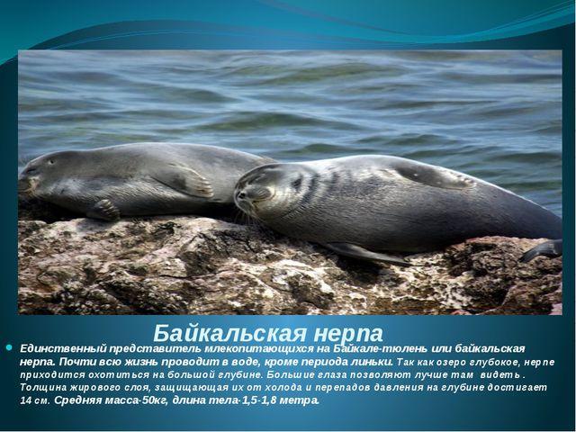 Байкальская нерпа Единственный представитель млекопитающихся на Байкале-тюлен...