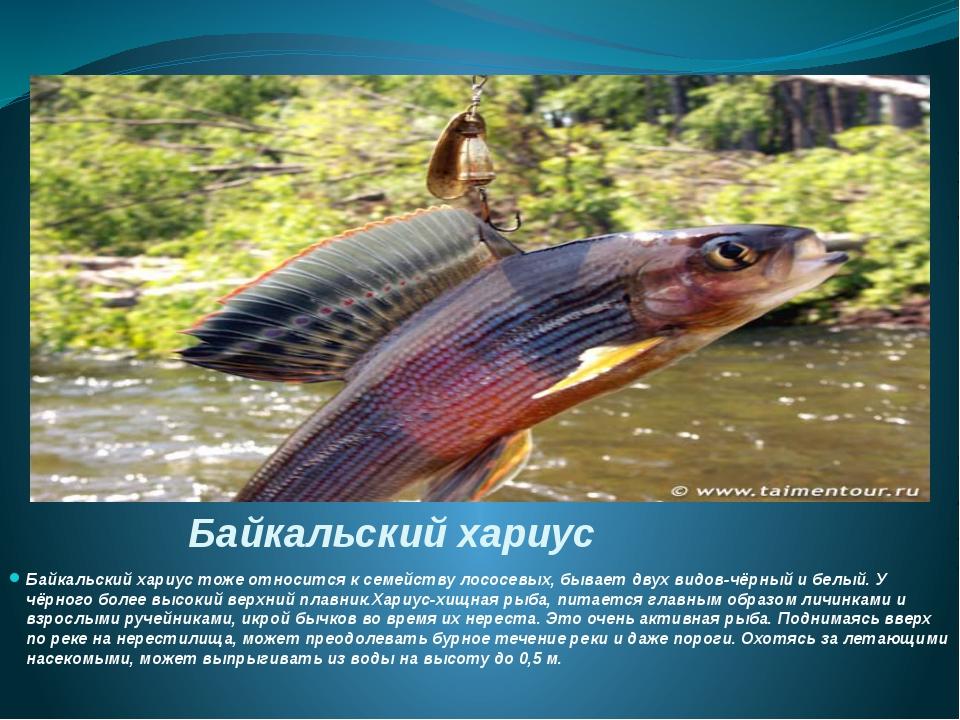 Байкальский хариус Байкальский хариус тоже относится к семейству лососевых, б...