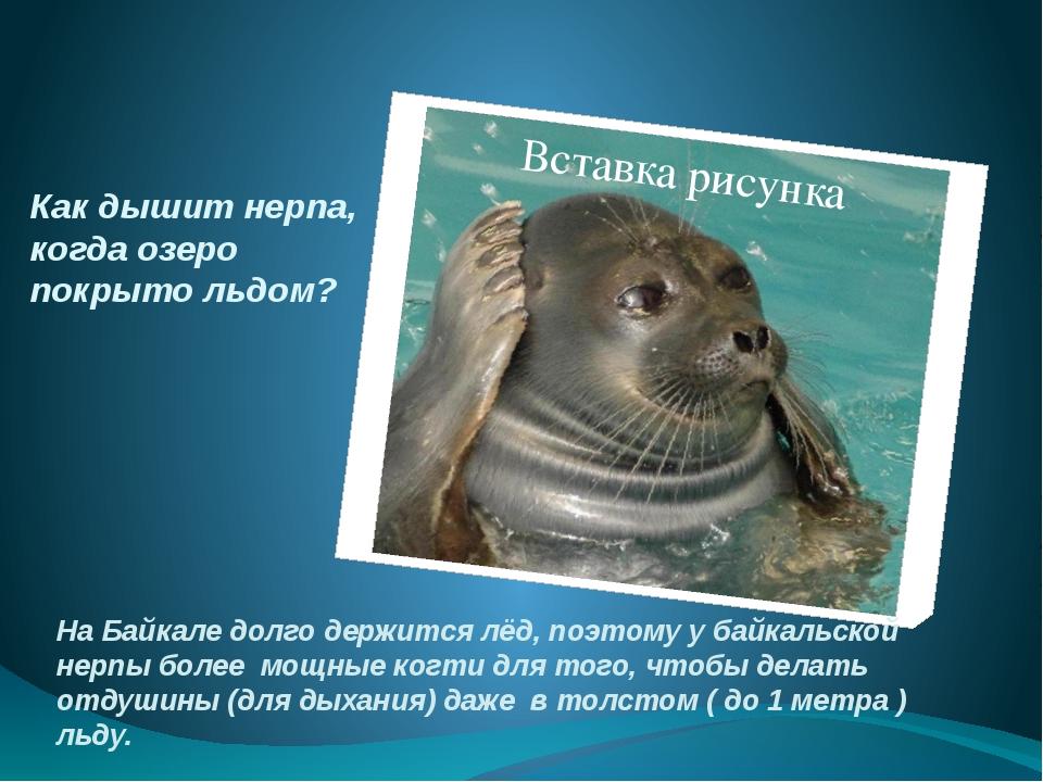 Как дышит нерпа, когда озеро покрыто льдом? На Байкале долго держится лёд, по...