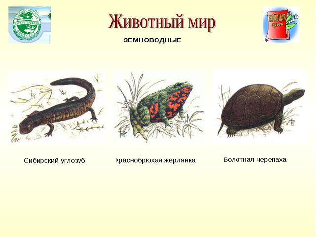 Сибирский углозуб Краснобрюхая жерлянка ЗЕМНОВОДНЫЕ Болотная черепаха