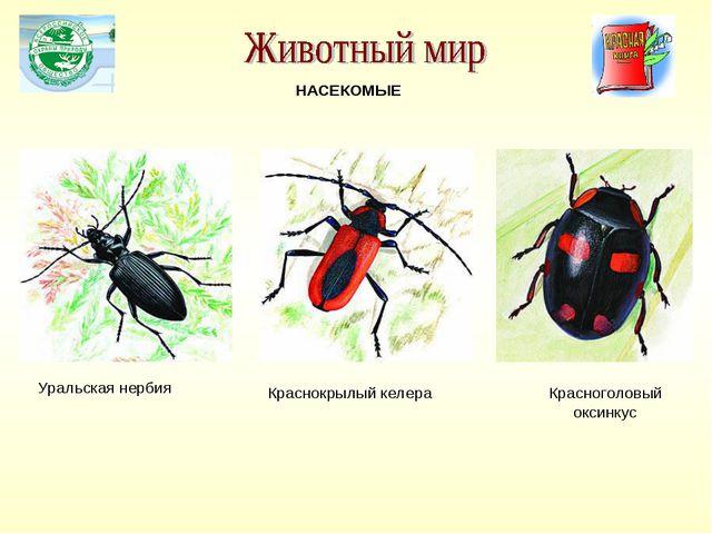 Уральская нербия Красноголовый оксинкус НАСЕКОМЫЕ Краснокрылый келера