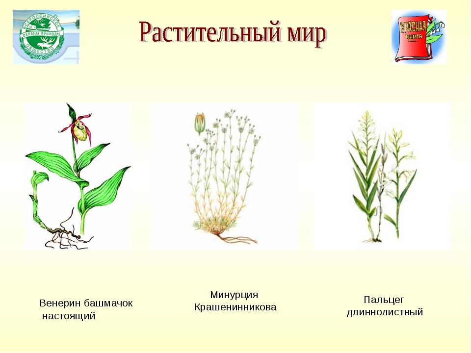 Венерин башмачок настоящий Минурция Крашенинникова Пальцег длиннолистный