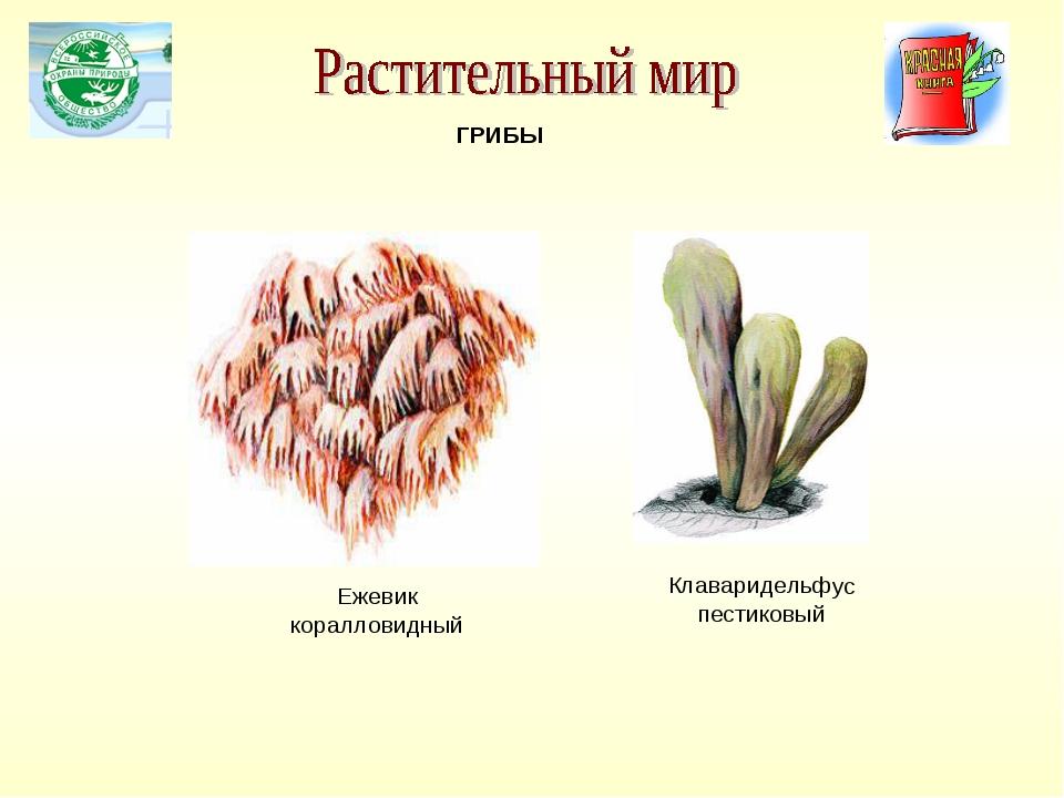 Клаваридельфус пестиковый ГРИБЫ Ежевик коралловидный