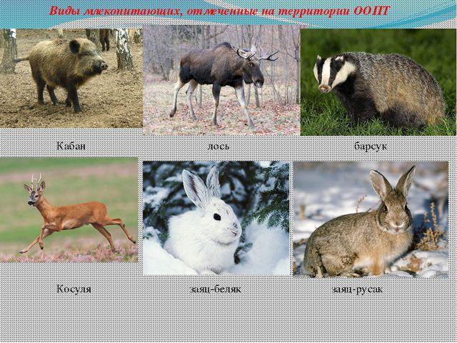 Виды млекопитающих, отмеченные на территории ООПТ Кабан лось барсук Косуля за...