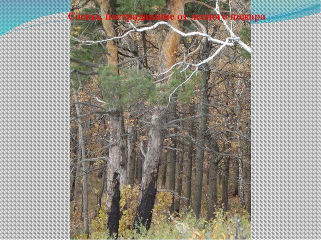 Сосны, пострадавшие от лесного пожара